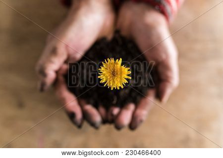 Person Holding A Colorful Yellow Dandelion In Rich Fertile Earth Cupped In Their Hands In A Close Up