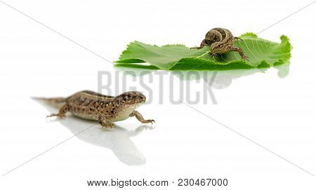 Lizard Isolated On White Background. Horizontal Photo.