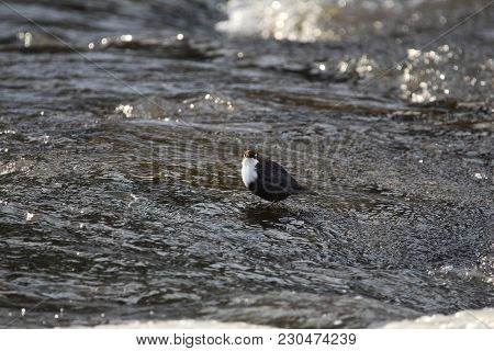 White-throated Dipper Standing In River Revealing Its White Eyelids