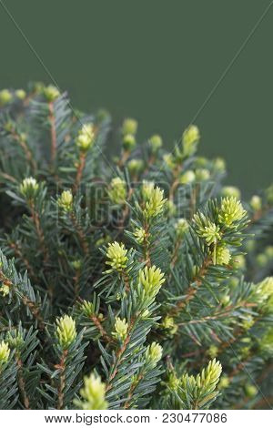 Young Evergreen Pine Tree Branches With Sprouts, Ornamental Thorns