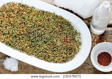 Growing Cress Salad On Cotton, Growing Watercress Salad