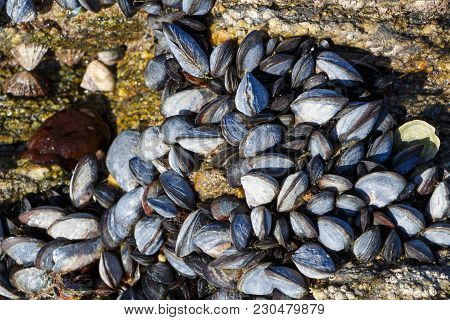 Wild Mussels On Rocks At Low Tide In Brittany