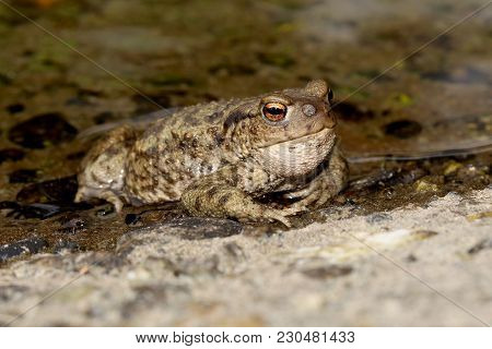 Common Toad (bufo Bufo) With Toadfly Larvae (lucilia Bufonivora) Near Its Nostrils, Amsterdamse Wate
