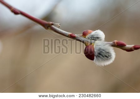 Salix Discolor - Cats Are One Of The Symbols Of Spring And Easter. Typically, They Are Twigs Of The
