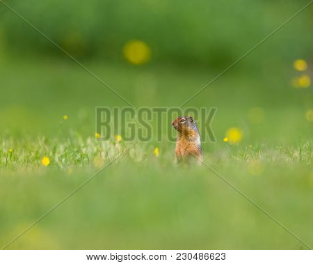 Richardsons Ground Squirrel With Yellow Flowers On Grass