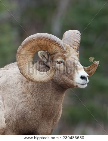 Rocky Mountain Sheep Portraite With Forest Background And Evergreen Brach Stuck In One Horn