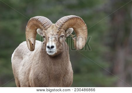 The Most Interesting Mountain Sheep Ram I Have Had The Pleasure To Photograph. The Tamarack Branch S