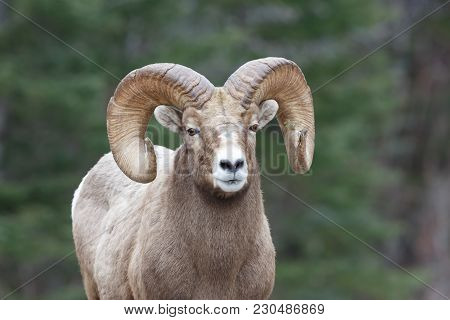 Mountain Sheep With Pine Branch Stuck In One Horn And Forest Background