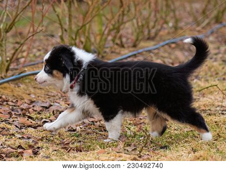 Australian Shepherd purebred dog on meadow in autumn or spring, outdoors countryside. Black Tri color Aussie puppy, 2 months old.