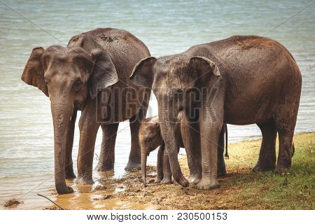 The spectacular image of the Asian elephant family that is drinking water from the river next to the Pinnawala village, Sri Lanka. The territory of the Pinnawala Elephant Orphanage.