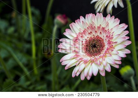 Close Up Of Colorful African Daisy Flower Or Transvaal Daisy Flower Or Gerbera Flower In The Garden