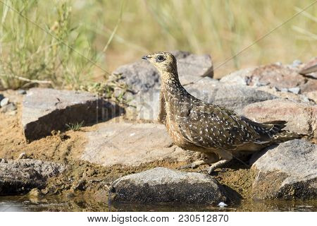 Burchell's Sandgrouse Female Drinks Water From A Waterhole In Kalahari Desert