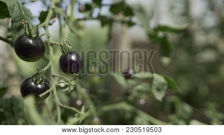 Black Tomatoes Grow In A Greenhouse.  Vegetables Grow In The Greenhouse.