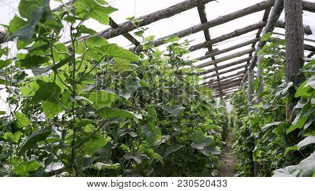 Vegetable Greenhouse. Greenhouse For Vegetables.  Vegetables Grow In The Greenhouse