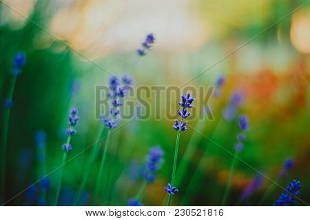 Lavender Flowers, Lavender, Natural Beauty, Blue Flowers, Finesse, Heavenly Flower