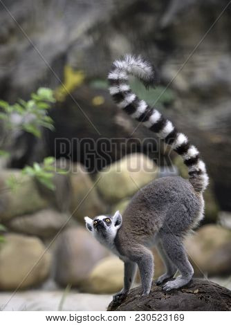 Lemur Stands On A Rock. Curious Ring-tailed Lemur With Beautiful Long Tail Looks Up Over Natural Bac