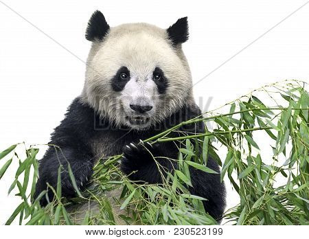Isolated Panda. Big Panda Bear Holding A Bunch Of Bamboo Branches With Leaves Isolated On White Back