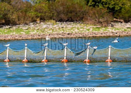 Whiskered Terns Perched On A Fishing Net, The First One Is Flying Off, At Kerkini Lake, Greece