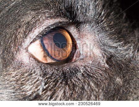 Brown Eyes In Black Dogs. Macro . In The Park In Nature