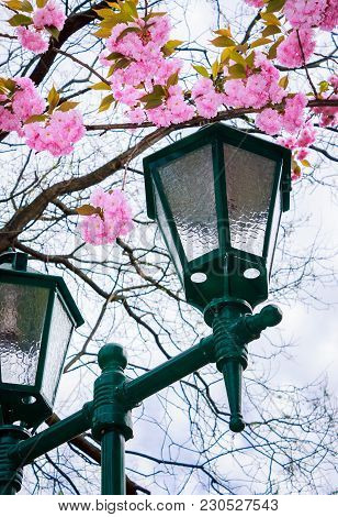 Green Lantern Below The Sakura Blossom. Beautiful Romantic Background