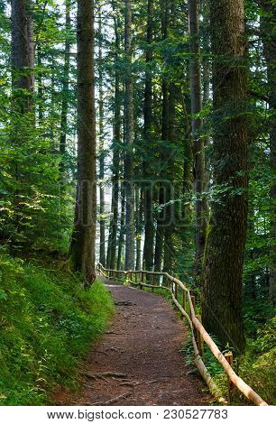 Forest Trail Among The Tall Trees In The Morning. Lovely Nature Scenery. Good Place For Running And