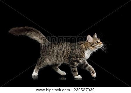 Tabby Kitten Walking With Interest Looking Up On Isolated Black Background, Side View