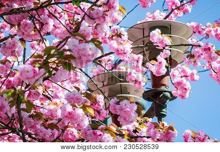 Gorgeous Sakura Flowers Around The Lantern On A Blue Sky Background. Lovely Springtime Scenery In Th