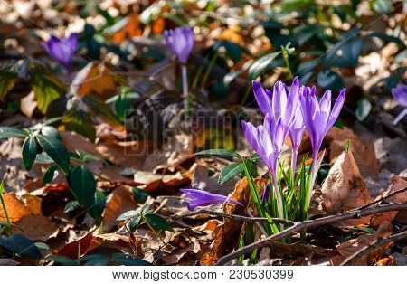 Purple Crocus Flowers Among Weathered Foliage In Forest On A Sunny Day. Beautiful Springtime Nature