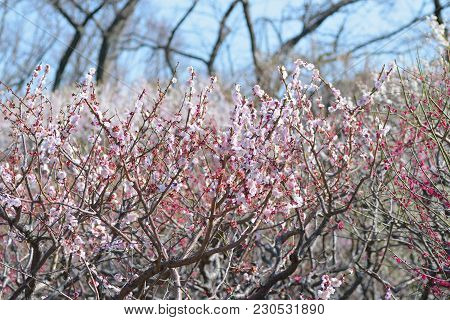 Nature Background Of Japanese Pink Plum Blossoms