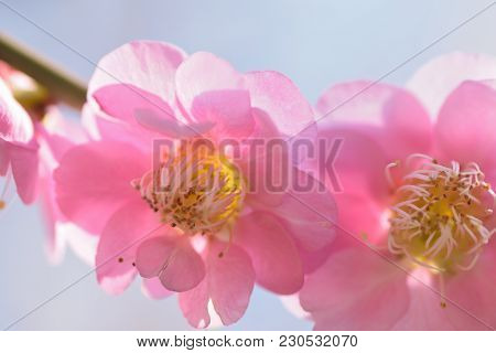 Macro Texture Of Japanese Pink Plum Blossoms In Sunshine