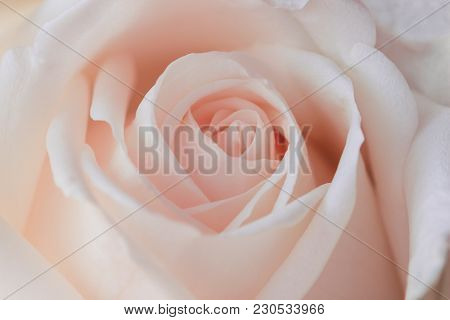 Beautiful Sweet Pink Roses In Close Up View Macro Concept To Present Rose Texture For Background. Lu