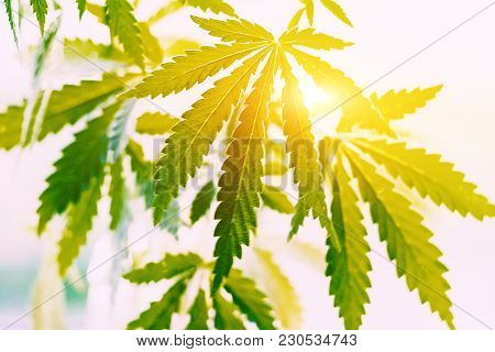 Hands Of Man Holding Sprout Of Hemp Grass On Background. Concept Of Legalizing Cannabis, Marijuana,