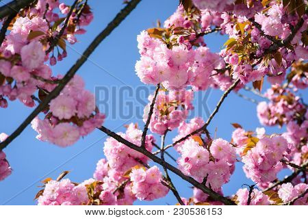 Gorgeous Sakura Flowers On A Blue Sky Background. Lovely Springtime Scenery In The Park