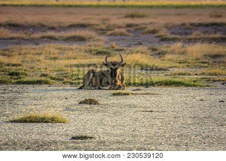 Horde Of Wildebeest Gnu National Park Of Kenya Africa