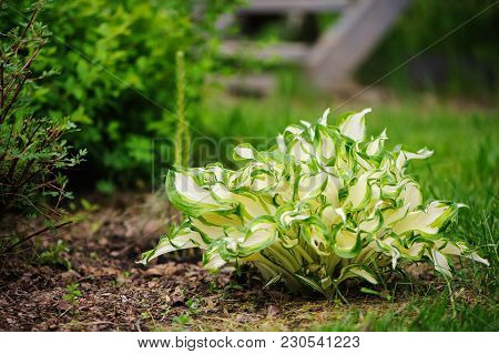 White Curvy Hosta Planted In Mixed Border With Spirea