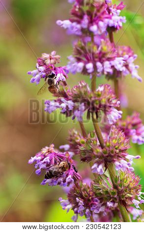 Natural Background Meadow Plants Two Bees And An Ant Collects Nectar On A Flower Blooming Salvia