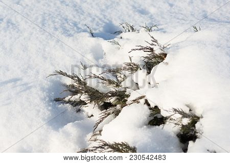 Juniper Bushes In The Snow. First Snow. Snow In The Garden On The Coniferous Bushes. Green Juniper S