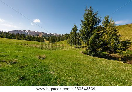 Coniferous Forest On A Grassy Hillside. Lovely Springtime Scenery At The Foot Of Borzhava Mountain R