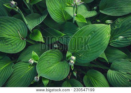 Green Nature Leaf Texture. Leaves Hosta Plant Background.