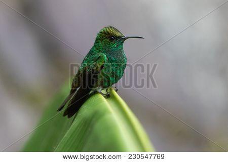 Humming Bird In Monteverde National Park Costa Rica