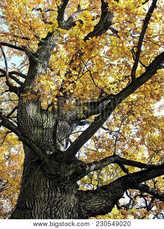 Very Old Oak Tree With Yellow Autumn Oak Leaves , Vertical Composition