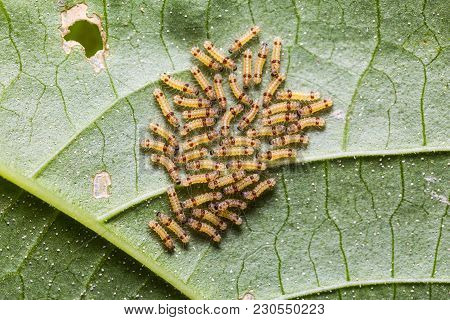 Group of first instar moth caterpillars on their host plant leaf