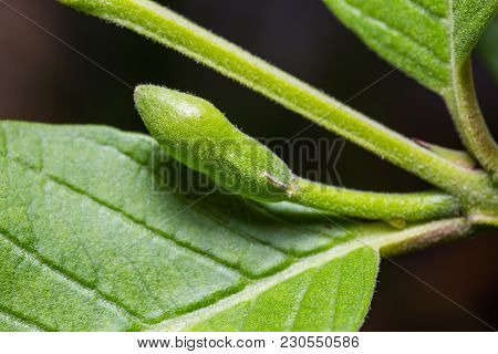 Close Up Of Guava Flower Bud In Nature