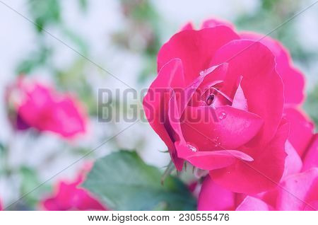 Flower Background With Pink Rose Flower, Closeup View. Pastel Tones Processing. Rose Flower, Closeup