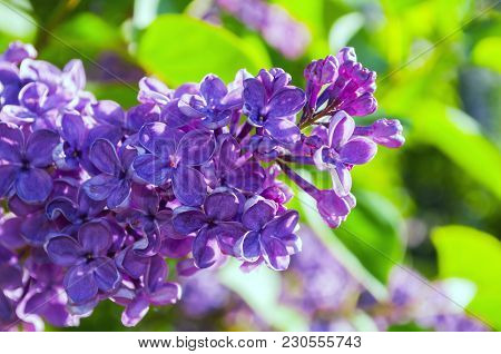 Spring Background With Blooming Lilac Flowers. Blooming Lilac Flowers Lit By Sunlight. Selective Foc