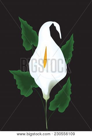 White Calla Flower With Green Leaves Isolated On A Black Background Art Creative Vector Illustration