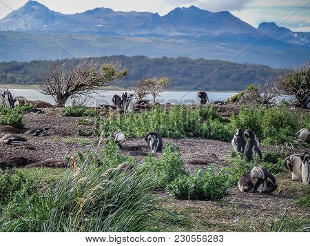 The Magellanic Penguins On The Islands Of Tierra Del Fuego Islas De Tierra Del Fuego