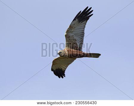 Western Marsh Harrier In Flight With Blue Skies