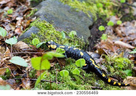 Europaean Fire Salamander (salamandra Salamandra) Romania, Bihor County