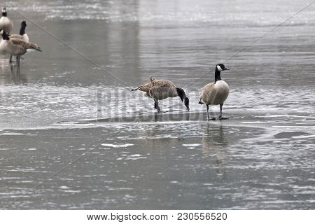 Canadian Geese Search In Vain For Food On The Frozen Lake. The Severe Frost Days Have Ensured A Thic